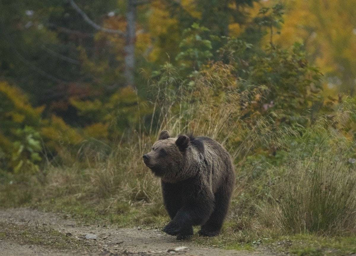 Bear from Slovenian forest Mossy Earth